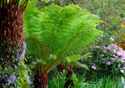 Tree Ferns