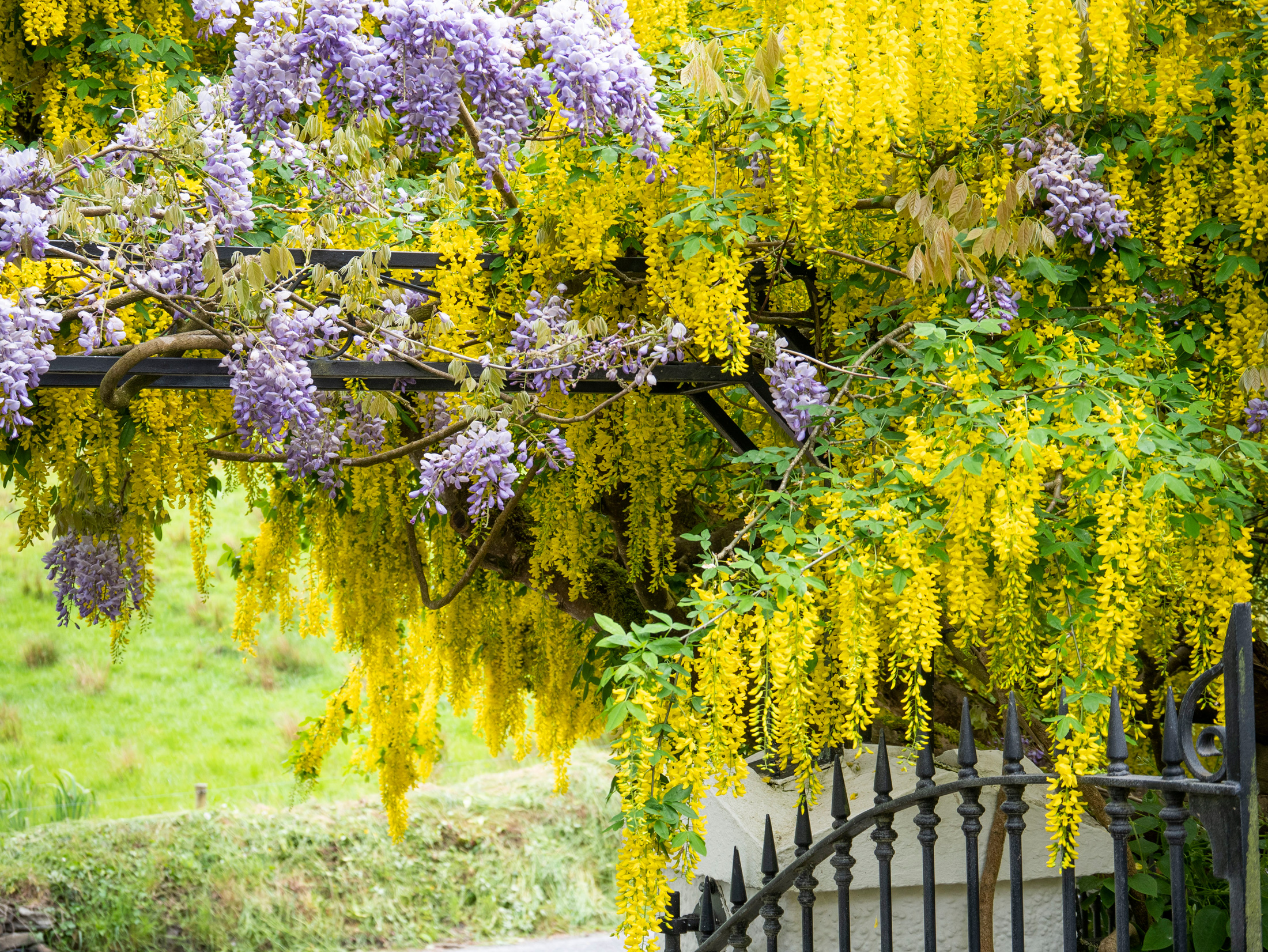 Wisteria and Laburnum Knockpatrick Gardens