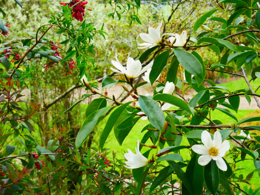 Magnolia and Cestrum